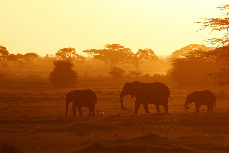 Three elephants going back to the woods at sunset, Amboseli, Kenya.