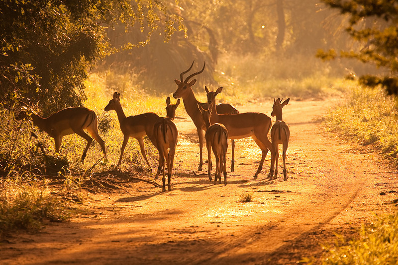 Impalas, Gorongosa National Park, Mozambique.
