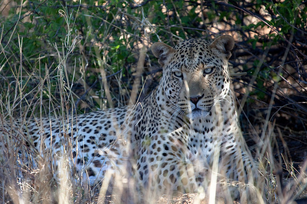Leopard from the Africat project, Waterberg park, Namibia.