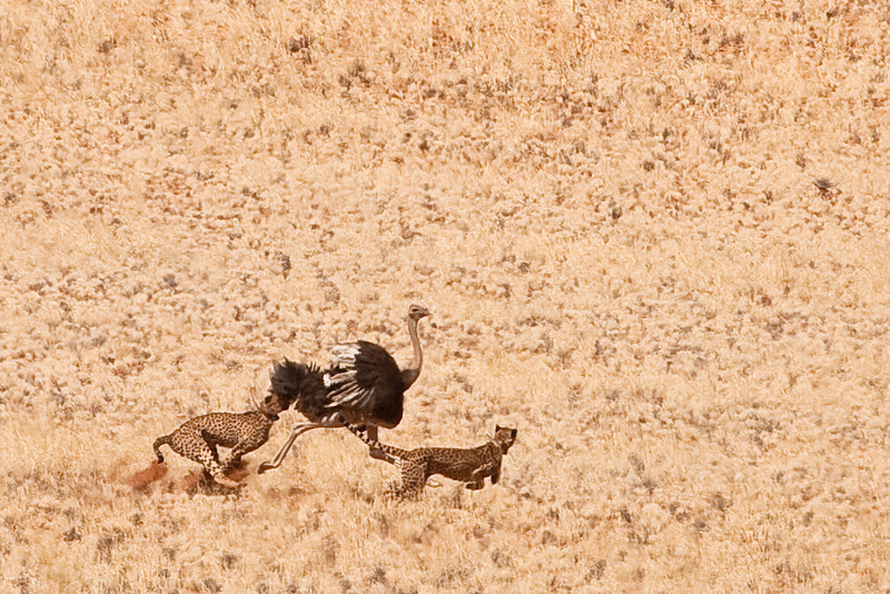 5 cheetas hunting an ostrich in the Namib-rand reserve, Namibia.