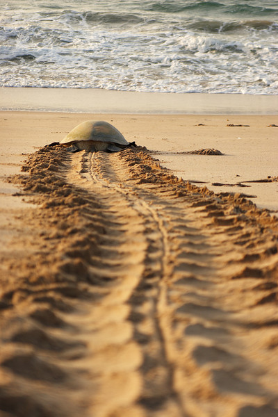 Turtle trying the reach the sea, Ras Al Jinz, Sultanate of Oman.