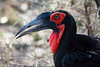 Southern Ground-Hornbill, Kruger National Park, South Africa.